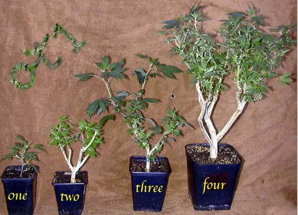Coupe d'une plante de cannabis