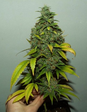 Jack hererssb wiki cannabique for Floraison cannaweed